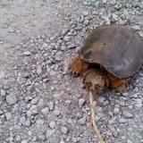 How to make a turtle puke