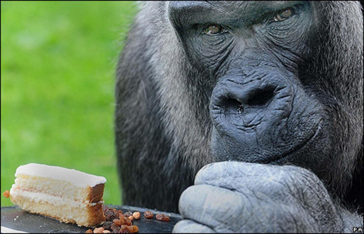 gorilla's eating. . Gorilla pics shit Posting
